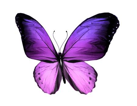 violeta: Violet mariposa, aislado en fondo blanco