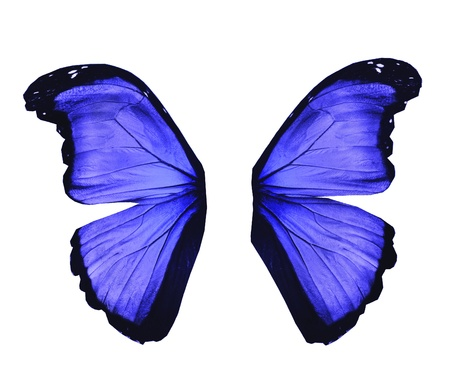 Wings of morpho blue butterfly , isolated on white photo