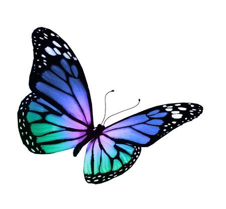 흰색 배경에 고립 된 청록색 보라색 나비, 스톡 콘텐츠