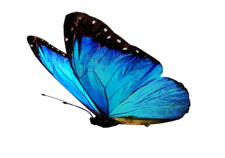 black and blue butterfly flying: Blue butterfly on white background