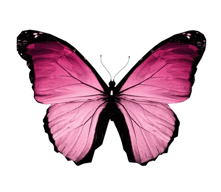single animal: Morpho pink butterfly , isolated on white