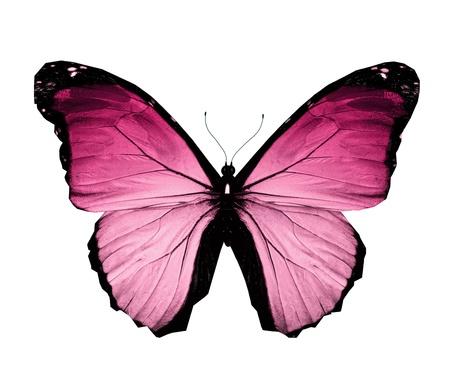papillon rose: Papillon Morpho rose, isol� sur blanc