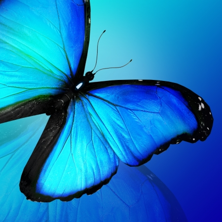 black and blue butterfly flying: Blue butterfly on blue background Stock Photo