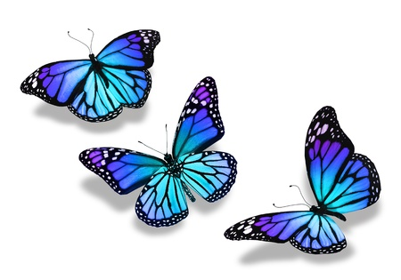 Three turquoise blue butterflies, isolated on white background Stock Photo
