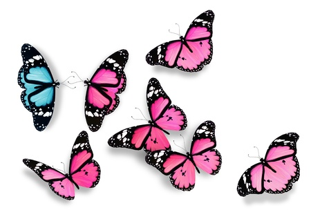 One blue and many pink butterflies, as concept of relations between men and women photo