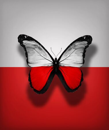 Polish flag butterfly, isolated on flag background photo