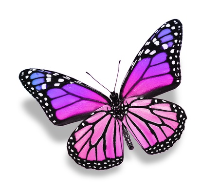 white butterfly: Violet pink butterfly , isolated on white