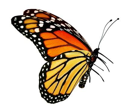 白で隔離、オレンジ色の蝶
