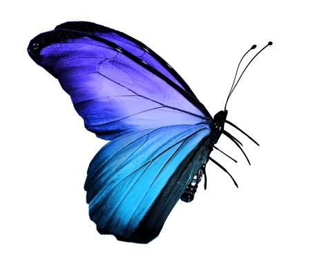 mariposa azul: Mariposa azul, aislados en blanco