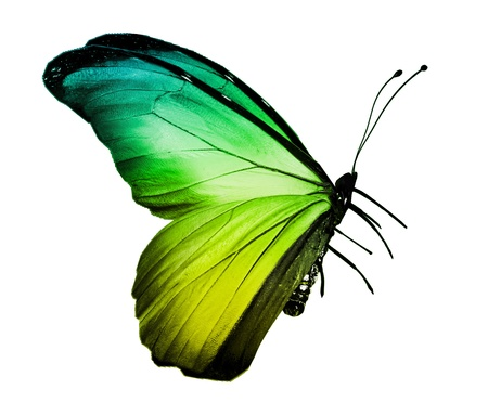 Green butterfly , isolated on white photo