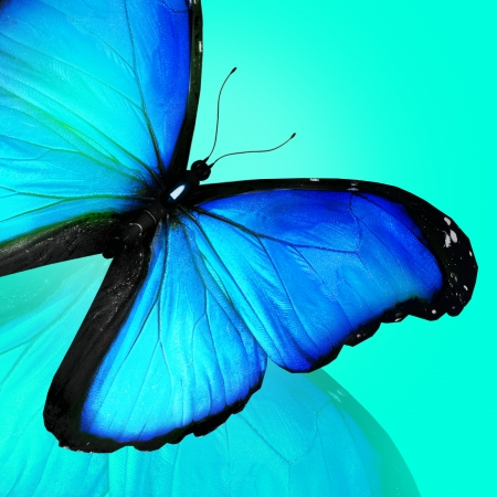 Blue butterfly on blue background photo