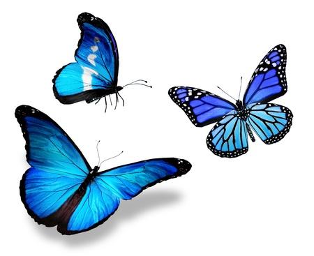 mariposas volando: Tres mariposa azul, aislados en fondo blanco Foto de archivo
