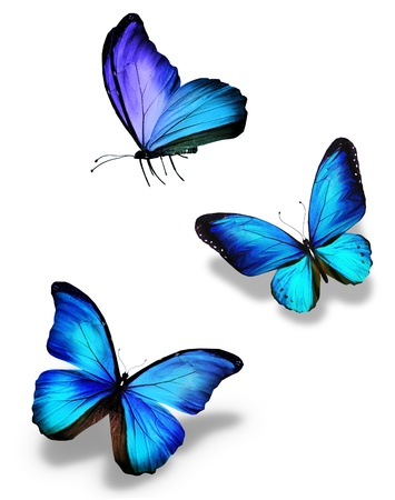 black and blue butterfly flying: Three blue butterflies, isolated on white