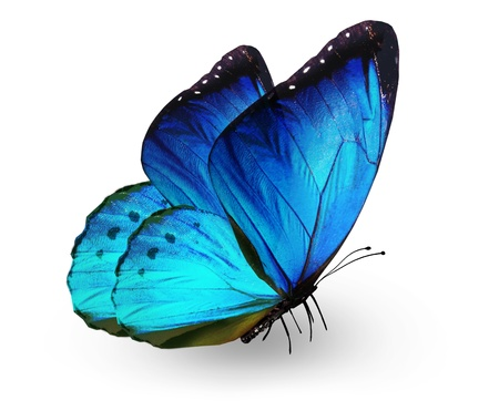 青い蝶は、白で隔離