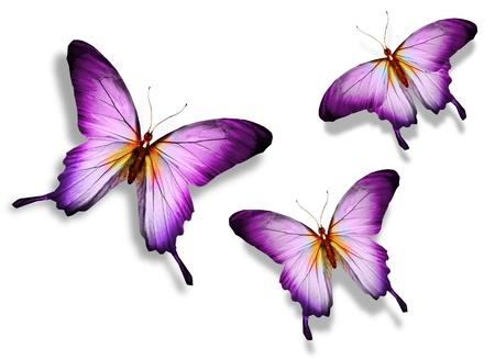 흰색 배경에 고립 된 세 보라색 나비, 스톡 콘텐츠