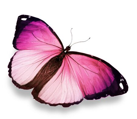 mariposas volando: Morpho de color rosa mariposa, aislado en blanco