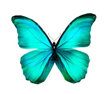 azul turqueza: Morpho azul turquesa mariposa, aislado en blanco