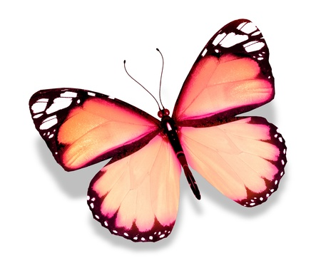 Pink butterfly, isolated on white background photo