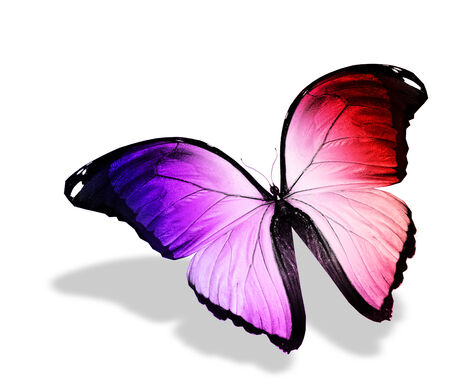 black and blue butterfly flying: Color butterfly on white background