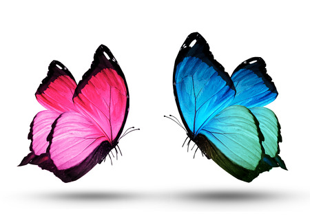 white butterfly: Pink and blue butterfly, isolated on white