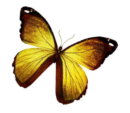 Morpho mariposa de oro, aislado en blanco