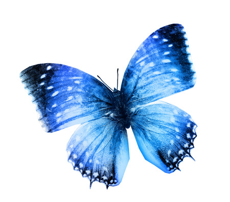 white butterfly: Blue butterfly , isolated on white
