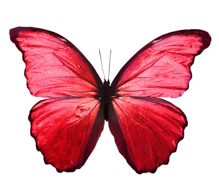 butterfly wings: Color butterfly , isolated on white