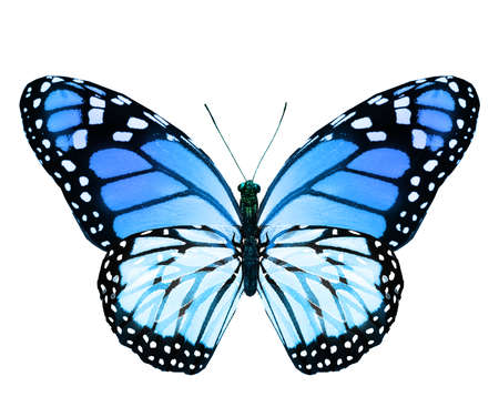 Color monarch butterfly, isolated on the white background