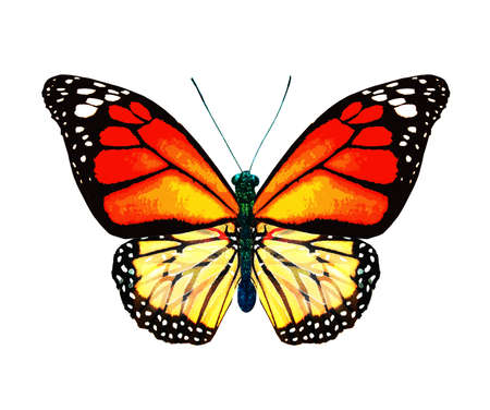 Color monarch butterfly, isolated on the white background Banque d'images