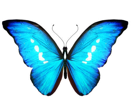 Color Morpho butterfly, isolated on the white background