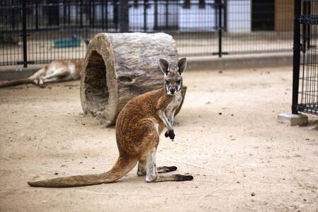 Kangaroo stand and looking at the camera.Red kangaroo at kobe oji zoo.