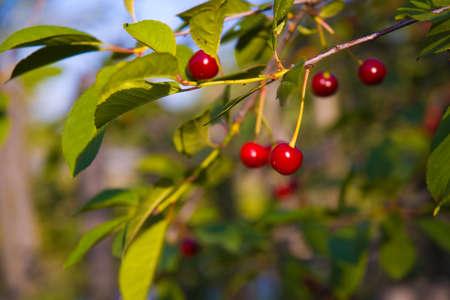 cherrytree: Cherry-tree with some cherries Stock Photo