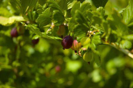 gooseberry bush: Uva spina bush Archivio Fotografico