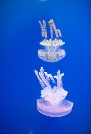 molluscs: Jellyfish