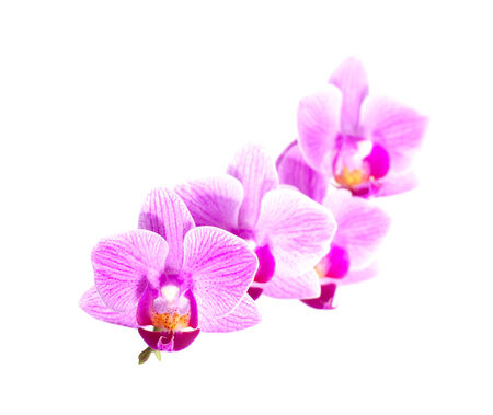 White purple phalaenopsis orchid flowers isolated on white background photo
