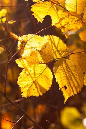 albero nocciola: Hazel albero a foglia in autunno Archivio Fotografico
