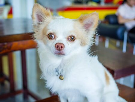 Chihuahua dogs are pets. Are on the wooden table Stockfoto