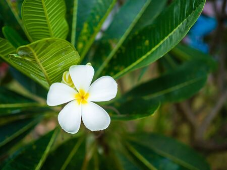 Beautiful white flowers in Thailand, Lan Thom flowers