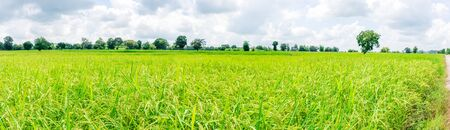 Panorama, natural weather, blue skies, beautiful clouds above the rice fields that are emerging.