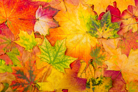 fall beauty: Background from bright autumn leaves of a maple Stock Photo