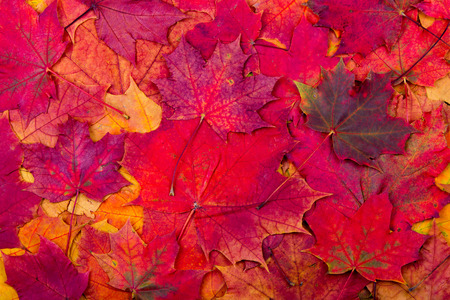 Background from bright autumn red leaves of a maple