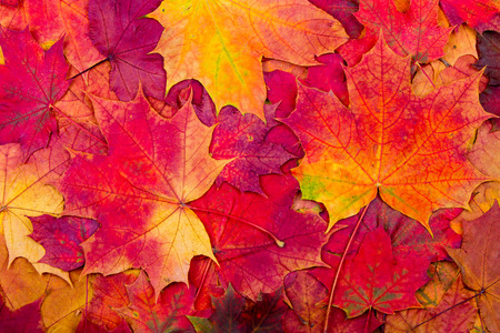 green background pattern: Background from bright autumn leaves of a maple Stock Photo