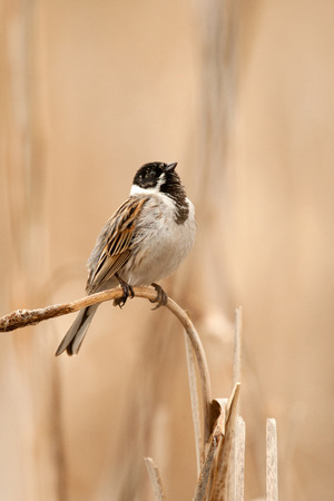 common reed: The song of a common reed bunting on a reed