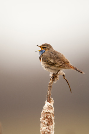 beau: Bluethroat outdoors sits on a cane with a beau tiful background Stock Photo
