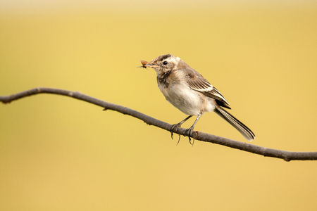 motacillidae: Young white wagtail with a moth in a beak