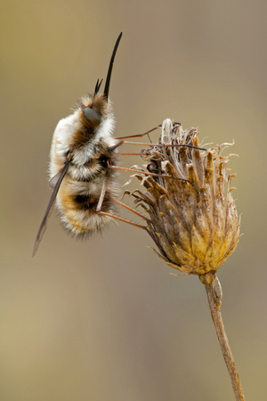 Bombylius major hangs on a dry plant on a beautiful background