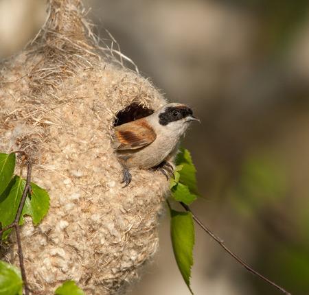 european white birch: Eurasian penduline tit  builds a nest on a birch Stock Photo