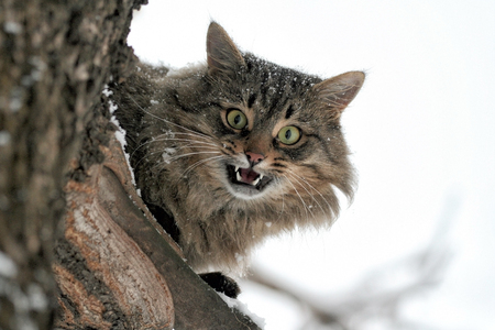 mewing: Mewing cat sits highly on a tree