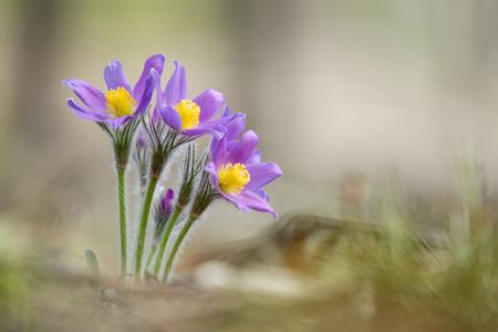 pulsatilla: Wild Spring Flowers Pulsatilla Patens. Flowering Plant.