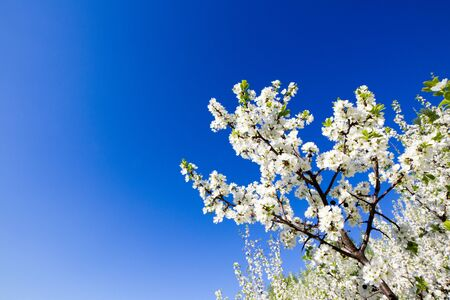 trees with thorns: Blackthorn Tree - Thorns. Trees of a garden blossom on a sky background. Stock Photo